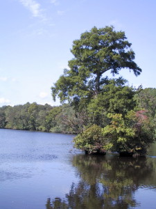 Bald Cypress in the Pocomoke River